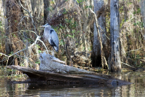 Blue Heron taking in the sights