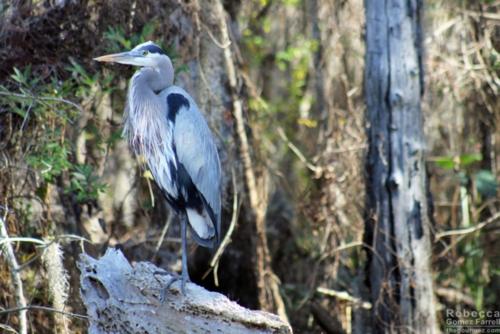 Blue Heron up close